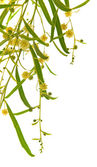 Acacia branches with flowers — Stock Photo