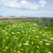 Chrysanthemum coronarium bloom on Fuerteventura after rains - Stock Photo