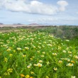 Chrysanthemum coronarium bloom on Fuerteventura after rains - 