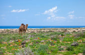 Dromedary enjoying greens of winter, sand dunes and ocean in the — Stock Photo