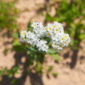 Heliotropium ramosissimum — Stock Photo