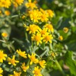 Senecio bollei — Stock Photo #18556171