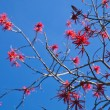 Flowering Erythrina, coral tree or flame tree — Stock Photo