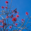 Flowering Erythrina, coral tree or flame tree — Stock Photo #18841841