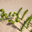 Sand with small euphorbia plant — Stock Photo