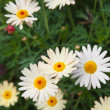 Marguerite background — Stock Photo