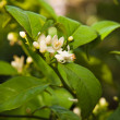 Flowering citrus tree — Stock Photo #21064023