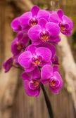 Phalaenopsis, Moth Orchid — Stock Photo