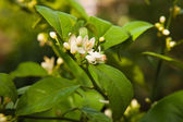Flowering citrus tree — Stock Photo