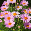Stock Photo: Marguerite background