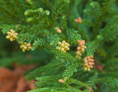 Cryptomeria japonica — Stock Photo