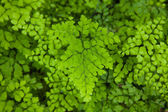 Southern maidenhair fern — Stock Photo