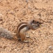 Stock Photo: Barbary ground squirrel