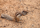 Barbary ground squirrel — Stock Photo