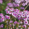 Pericallis webbii — Stock Photo #22396157