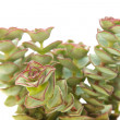 Echeveria — Stock Photo