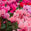 Cyclamen — Stock Photo #24350185