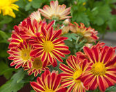 Spray chrysanthemums — Stock Photo