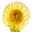 Yellow protea background - Stock Photo