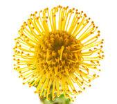 Yellow protea background — Stock Photo