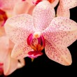 phalaenopsis — Stock Photo #24403761