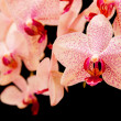 Phalaenopsis — Stock Photo #24403765