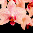 Phalaenopsis — Stock Photo #24403885