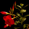 Red  mandevilla — Stock Photo