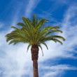 Phoenix palm — Stock Photo