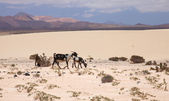 Northern Fuerevnetura, goats in the dunes — Stock Photo