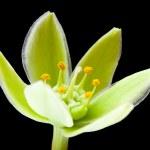 Yucca flower — Stock Photo #26262079
