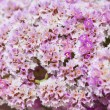 Limonium papillatum — Stock Photo
