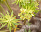 Flowering euphorbia plant — Stock Photo