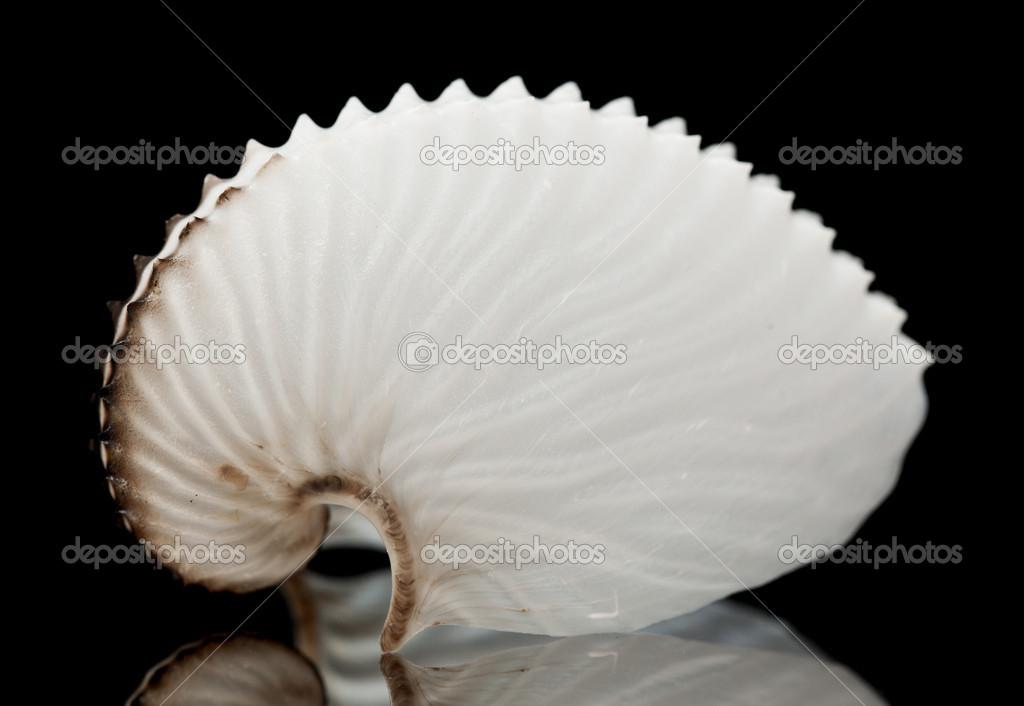paper nautilus shell for sale New zealand - shells & shellfish images of new zealand marine -5 galleries of new zealand from the nautilus shell , sectioned, new paper nautilus (pupu.