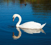 Cisne y la polla de agua — Foto de Stock