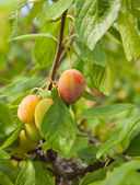 Ripening victoria plums — Stock Photo
