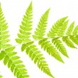 Underside of a fern leaf — Stock Photo