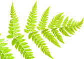 Underside of a fern leaf — Stock Photo
