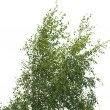 Silver birch — Stock Photo