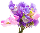 Sweet pea — Stockfoto