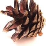 Pine cone — Stock Photo #31060645