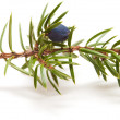 Stock Photo: Juniper twig