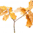 Stock Photo: Autumnal dry oak leaves