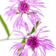 Centaurea flowers isolated on white background — Stock Photo