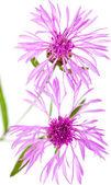 Centaurea flowers isolated on white background — Stock Photo