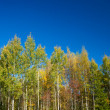 Aspens — Stock Photo