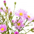 Stock Photo: Perennial asters