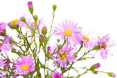 Perennial asters — Stock Photo