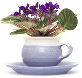 Saintpaulia púrpura oscuro aislado sobre fondo blanco — Foto de Stock