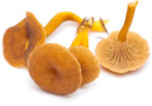 Yellowfoot mushroom — Stock Photo